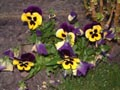 Bright yellow and purple pansies pany flowers - Bright,yellow,and,purple,pansies,pany,flowers