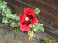 Poppy Against brick wall - Poppy,Against,brick,wall